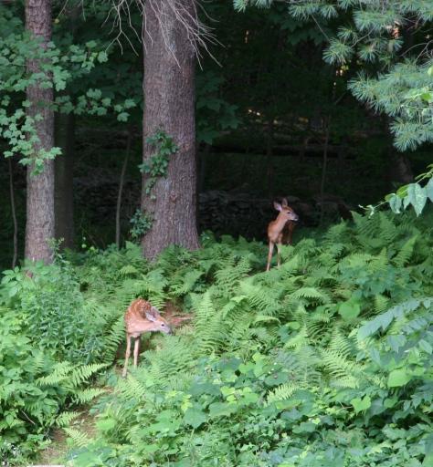 deer babies